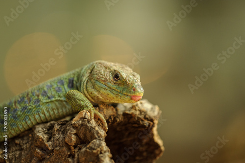 Ocellated lizard from side Poster