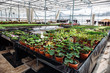 Inside new modern hydroponic greenhouse or hothouse for cultivation of decorative flowers and plants for gardening