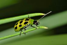 A Spotted Cucumber Beetle (Diabrotica Undecimpunctata) Traversing Across Two Pine Needles As Seen Through A Macro Lens.