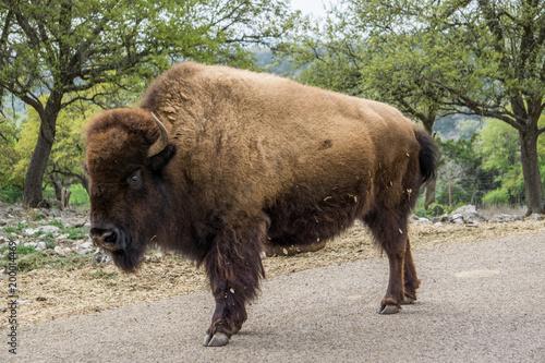 Foto op Plexiglas Bison bison in road