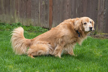 Golden Retriever Dog Peeing In...