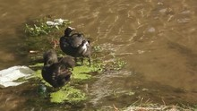 Coots Cleaning Their Feathers