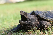 Alligator Snapping Turtle On T...