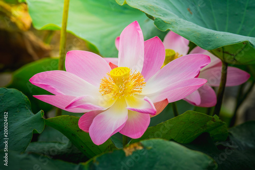 Close up pink lotus flower blossoms in the pond buy this stock close up pink lotus flower blossoms in the pond mightylinksfo