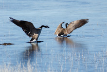 Canada Geese Taking Off From I...