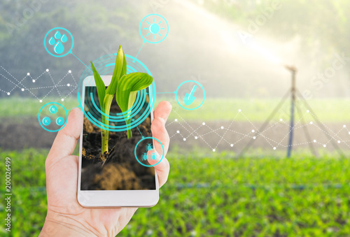 Growing young maize seedling in a mobile smartphone on hand with modern agricult Wallpaper Mural