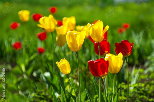 Fototapety, obrazy: Yellow and red tulips.