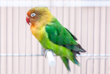 Yellow And Green Parrot In A C...