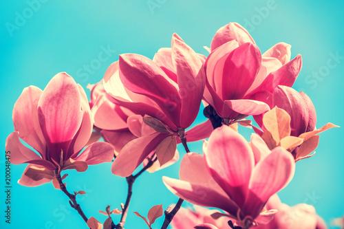 Poster Magnolia Blossoming magnolia flowers. Springtime.