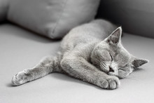 British Shorthair Gray Cat Lying On Grey Background, With Copy-space
