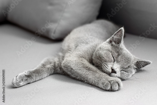 Keuken foto achterwand Kat British Shorthair gray cat lying on grey background, with copy-space