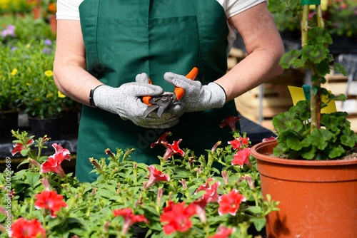Cadres-photo bureau Jardin Gärtnerin mit Ausrüstung/Werkzeug/Gartenschere im Gewächshaus einer Gärtnerei mit Blumenhandel /// Woman working in a nursery - Greenhouse with colourful flowers
