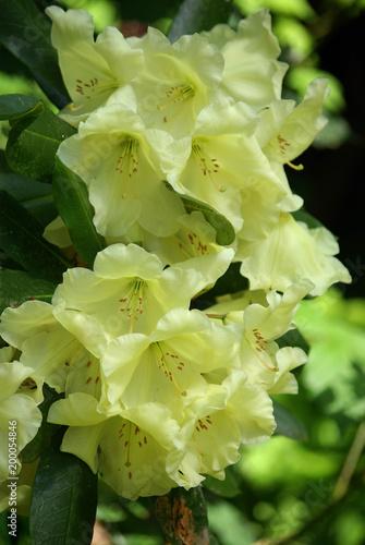 Deurstickers Azalea Azalée jaune au printemps au jardin