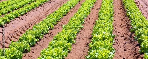 intensive cultivation of lettuce in fertile sandy soil in