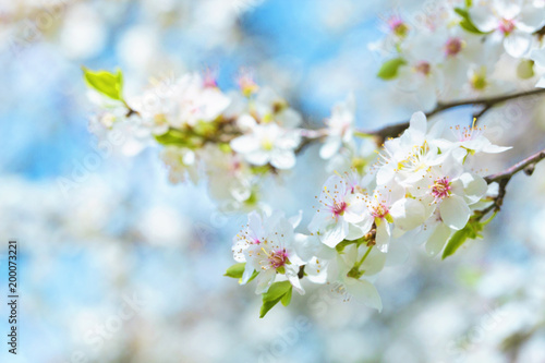 Obraz Cherry blossoms - fototapety do salonu