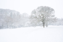 Lone Tree In A Field In Winter Surrounded By Woodland