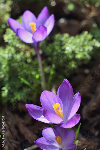 Foto op Canvas Krokussen Crocus Flowers in Springtime