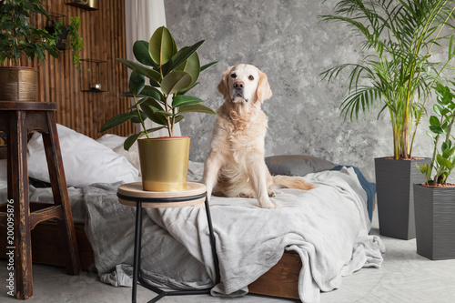 Foto  Golden retriever pure breed puppy dog on coat and pillows on bed in house or hotel
