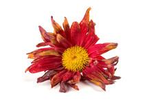 Faded Chrysanthemum Flower On ...