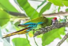 Military Macaw, Ara Militaris,...