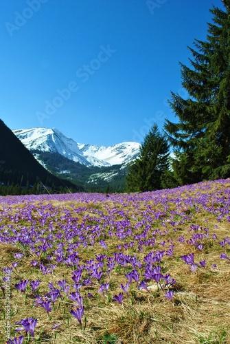 Fototapeta Krokusy w Tatrach obraz