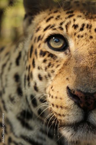 Foto op Canvas Luipaard Close up Portrait / Face of a Big Cat / Leopard