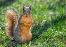 A Fox Squirrel Foraging For Fo...
