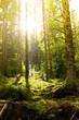 Sonnenschein im Nadelwald