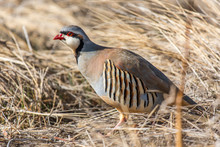 A Chukar Foraging For Food And...