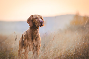 FototapetaHungarian hound pointer vizsla dog in autumn time in the field