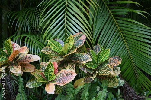 Tropical garden with palm tree and croton, close up.