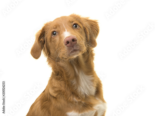 Portrait of a young scotia duck tolling retriever dog on a white background