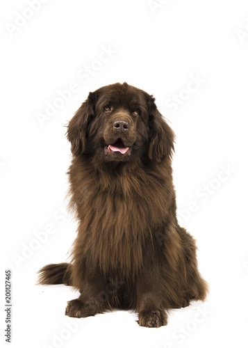 Sitting brown newfoundland dog looking up isolated on a white background Fototapeta