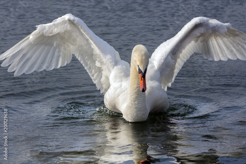 Staande foto Zwaan Beautiful swan with outstretched wings.