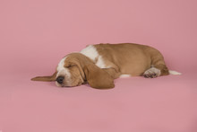 Cute Sleeping Bicolor Basset H...