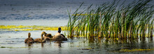 Panorama Of A Canada Goose Family In A Wetland