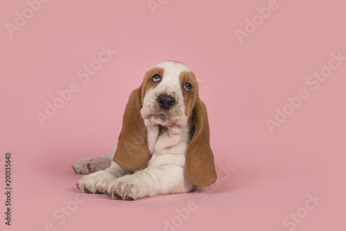 cute lying down tan and white basset hound puppy on a pink