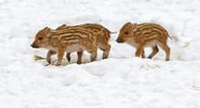 European Wild Boar Piglet With...