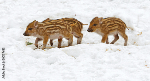 European wild boar piglet with stripes, characteristic feature of piglets. Three piglets