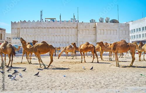 Fényképezés  Camel pen in Doha, Qatar
