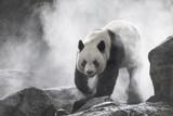 Fototapeta Zwierzęta - Cute panda Nature Fog