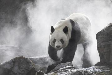 Fototapeta Panda Cute panda Nature Fog