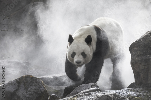 Stickers pour portes Panda Cute panda Nature Fog