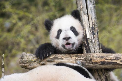 Poster Panda Yuan Meng Baby panda cute