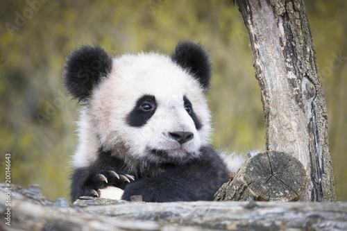 Deurstickers Panda Yuan Meng Baby panda cute