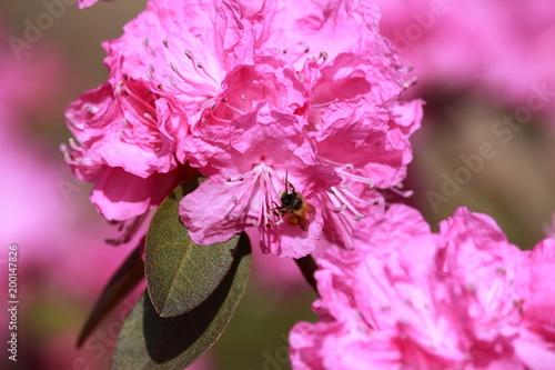 Foto  Bestäubung / Insekt auf der Blüte