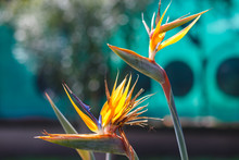 Beautiful Bird Of Paradise Flower (Strelitzia Reginae) Isolated In Green Background