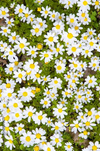 Tuinposter Bloemen Papatyalar ve yeşillikler,