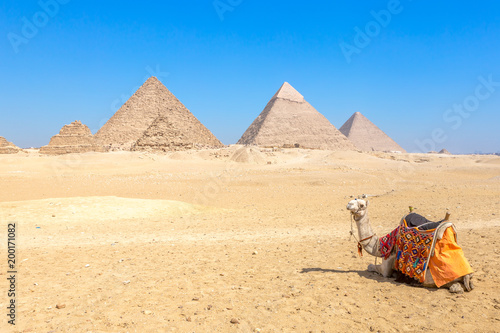 Poster Chameau The pyramids at Giza in Egypt