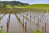 Field of grape vines are under water